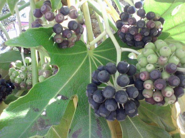 aralia-semi-foglie