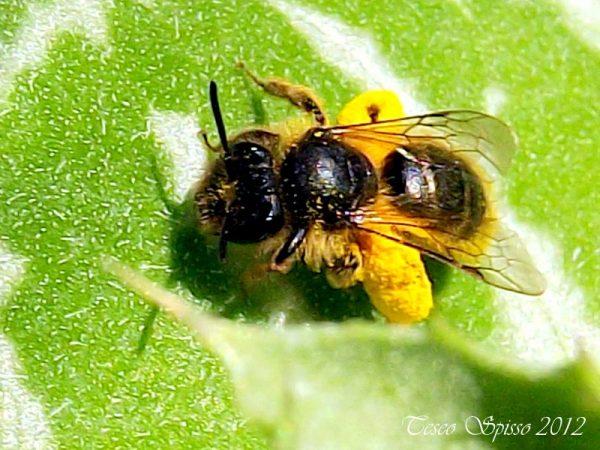 ape-vespa-polline-su-dorso