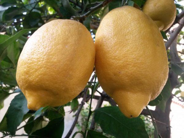 foto-limoni-costiera-amalfitana