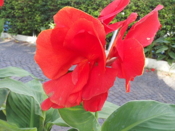 fiore-canna-indica