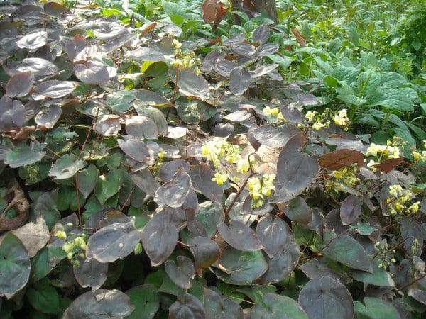 begonie-varietà