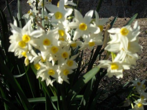 Galleria foto - Haemanthus - Fiore pennello coltivazione Foto 20