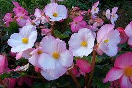 begonia-potatura
