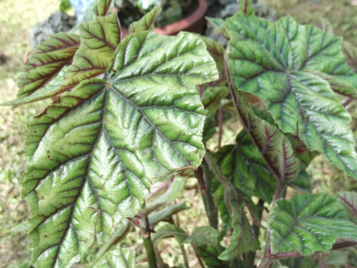 Begonia-metallica