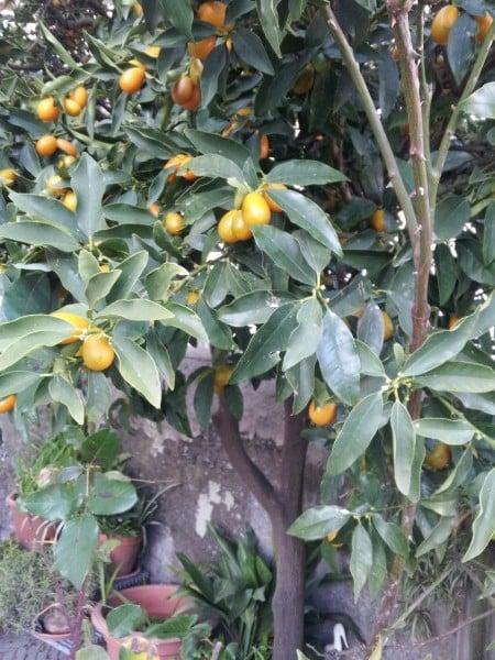 mandarino-cinese-impianto
