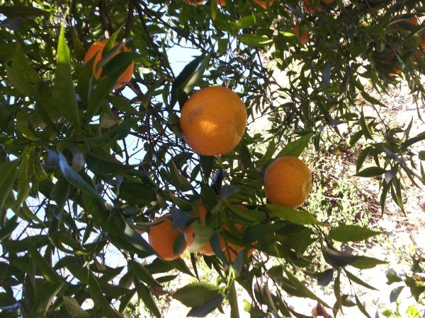 mandarini-raccolta