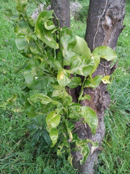 Limoni Potatura