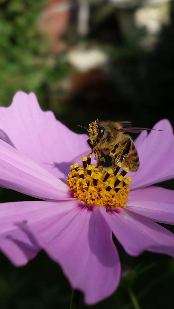api-polline-fiori