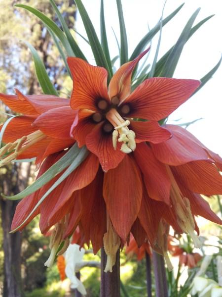 fritillaria-fiore