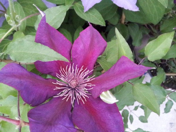 clematide-fiore