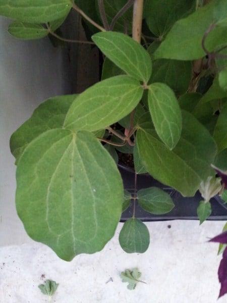 clematide-foglie