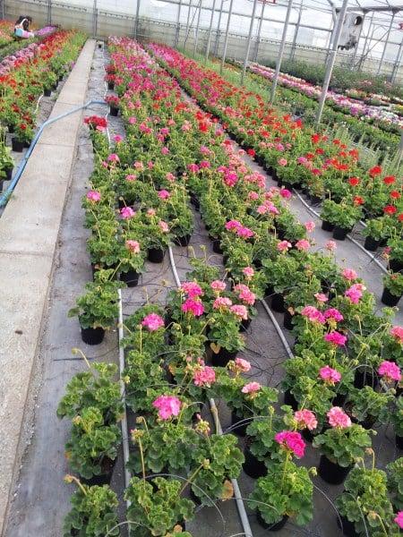 geranio-pelargonio-coltivazione