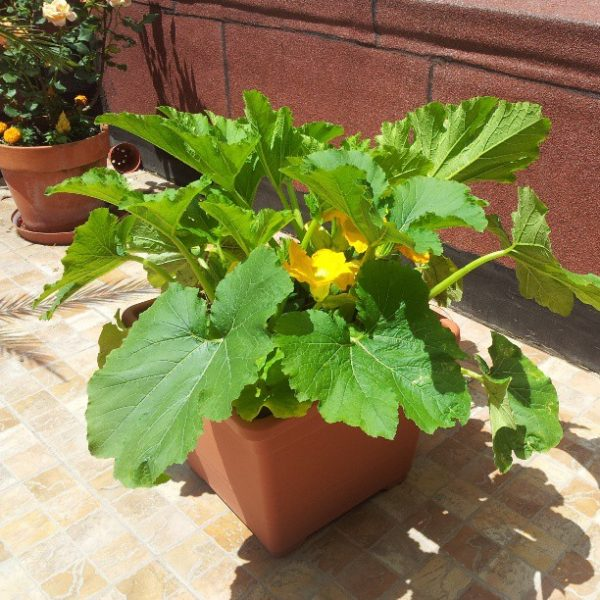 Zucchina in vaso