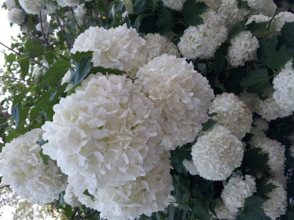 Fiori A Palla Nome.Viburno Palla Di Neve Viburnum Opulus Coltivazione