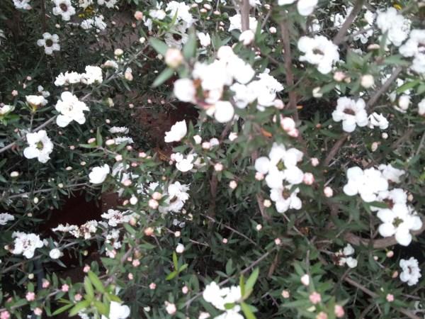 leptospermum-rinvaso