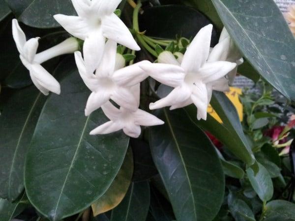 Stephanotis-fiori