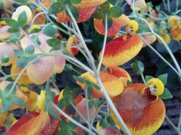 calceolaria-fiori