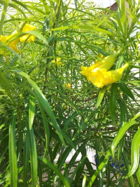 Thevetia -potatura