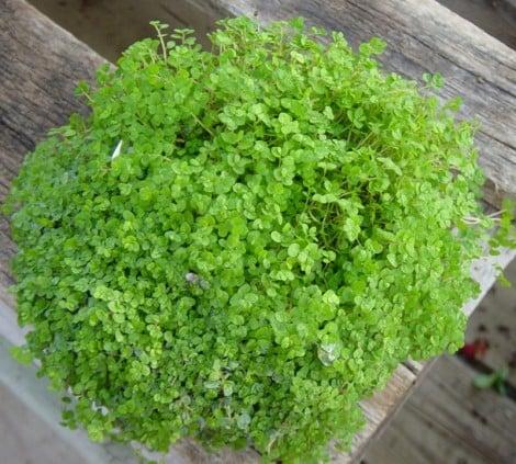 Helxine Soleirolia pianta del buon umore