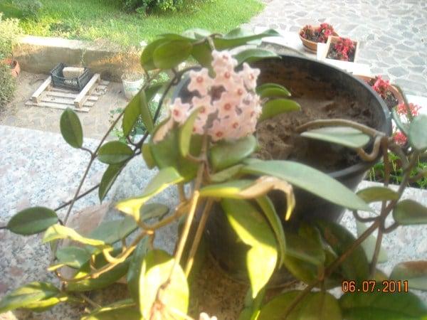 fiore d cera-Hoya
