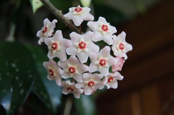 hoya-fiore