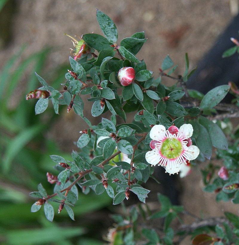 Leptospermum-macrocarpum