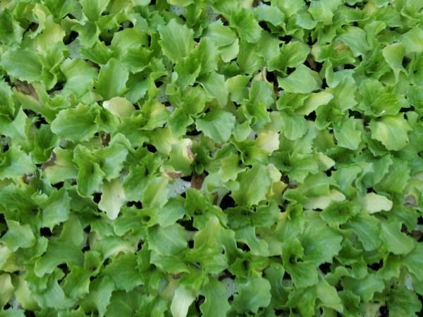 lattuga-moltiplicazione