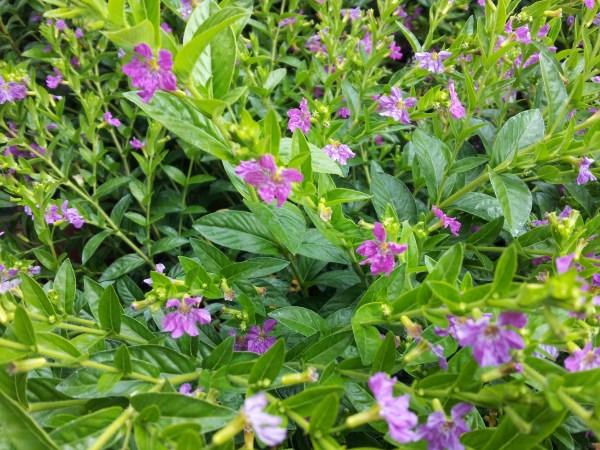 cuphea-fiori