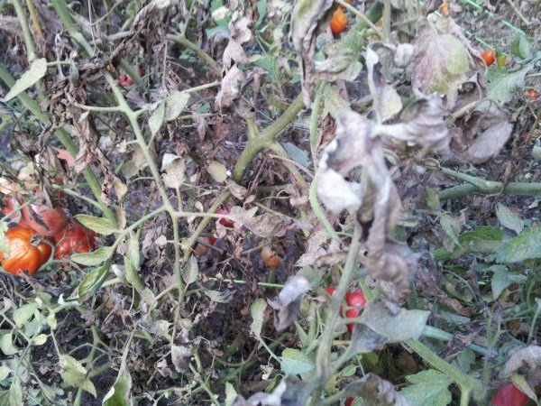 Pomodori-malattie