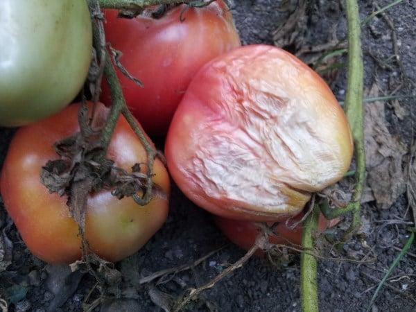 Pomodoro-malattie