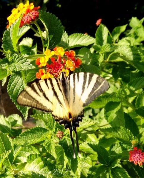 fiori-attira-farfalle