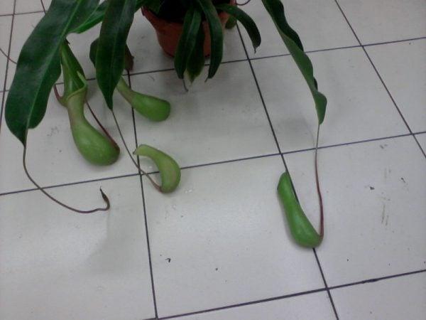 Nephentes-pianta carnivora