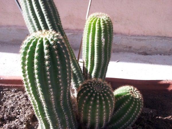 Cactus contro cefalea da computer