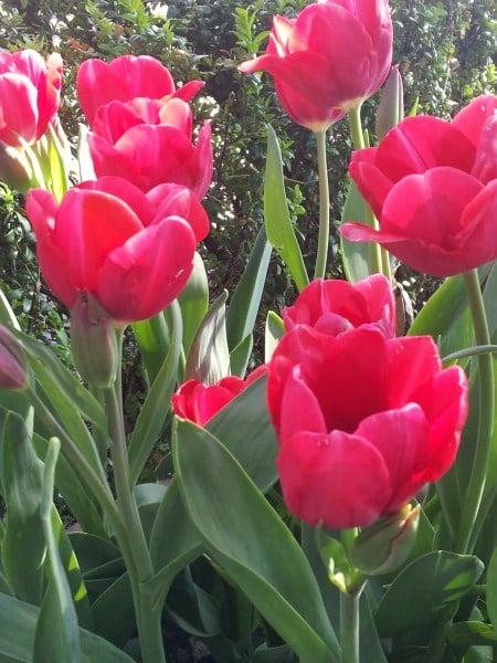 tulipani-rossi