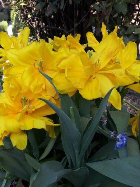 tulipani-a-mazzetti