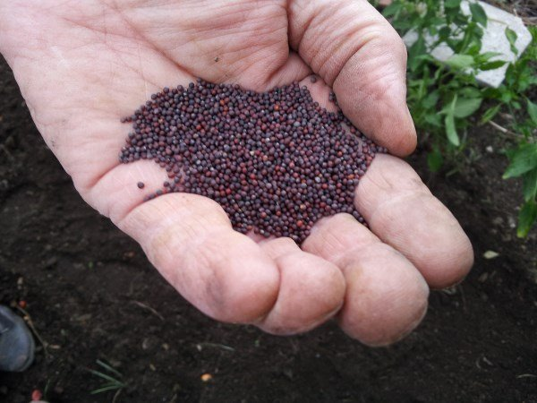 semina-cime di rapa