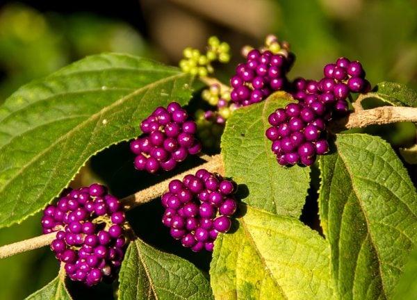 Callicarpa-foglie-bacche