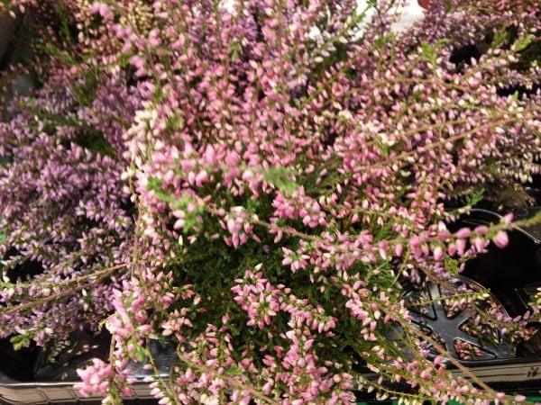 calluna-fiori