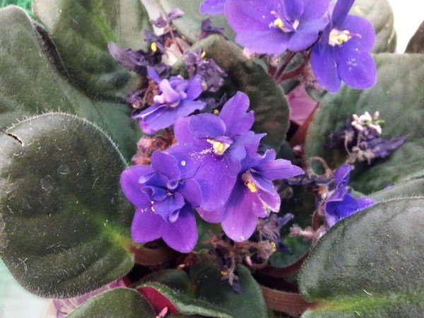 Violetta-africana-Saintpaulia