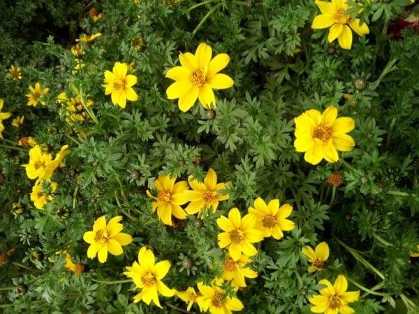 Bidens-pianta-perenne
