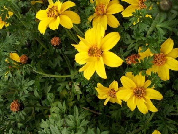 Bidens-fiori