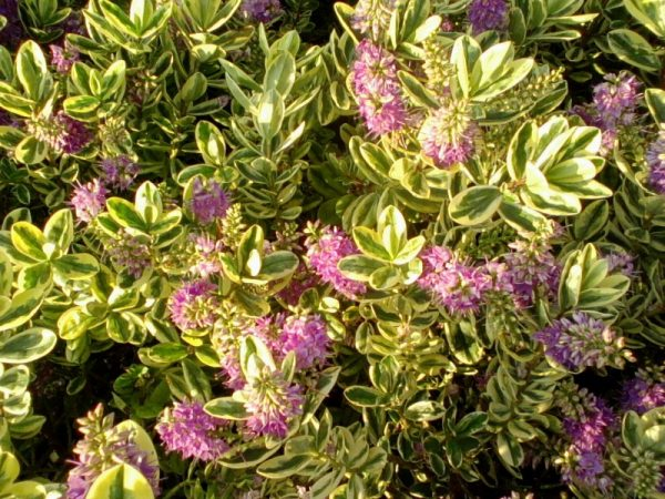 Hebe-fioritura