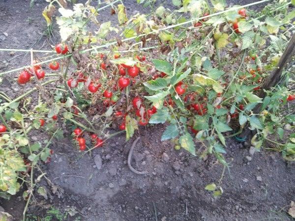 Pomodori-cure