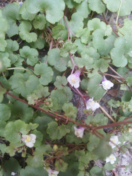 Cymbalaria murali-erba piattella