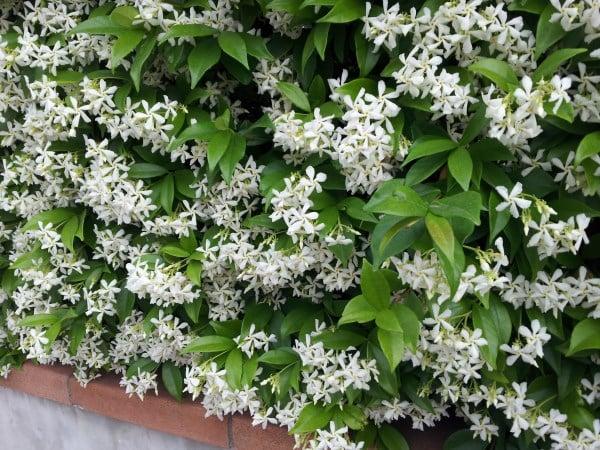Rincospermo-Trachelospermum jasminoides
