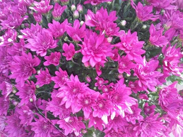 Crisantemi-viola