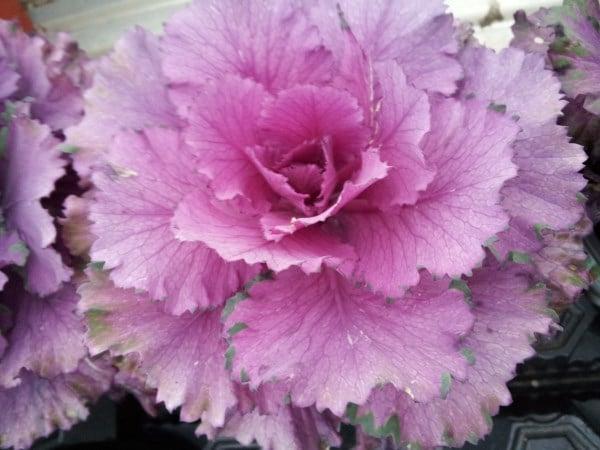 Kale cavolo riccio for Cavolo ornamentale