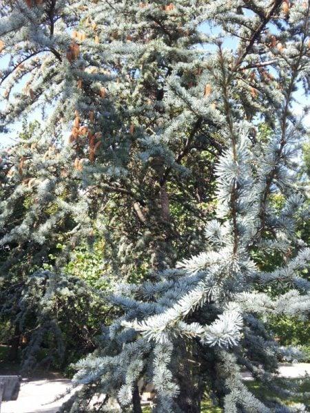 Cedro-Libano-foglie