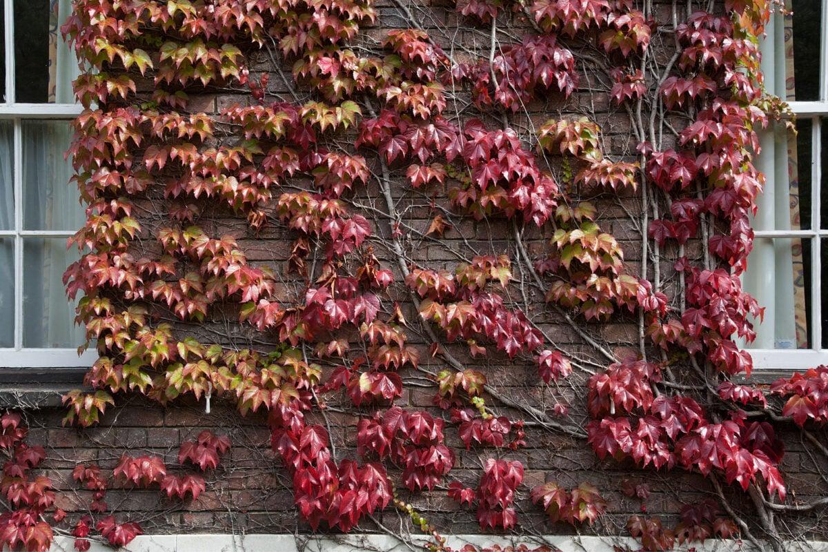 Vite Canadese – Parthenocissus Tricuspidata coltivazione