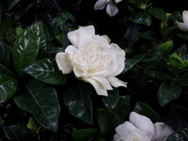 Gardenia-potatura